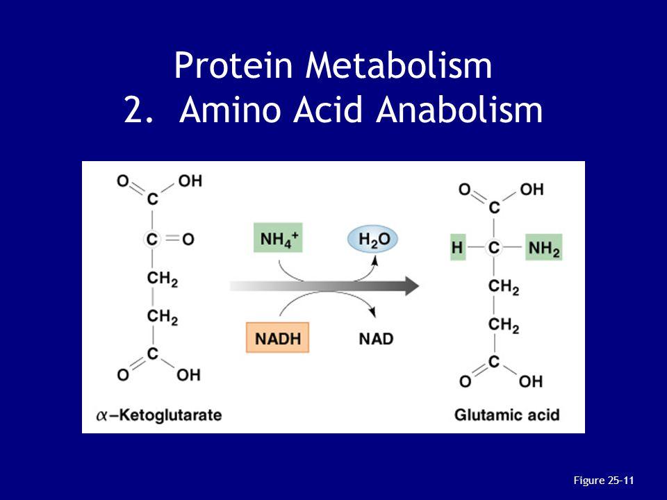 Protein Metabolism 2. Amino Acid Anabolism
