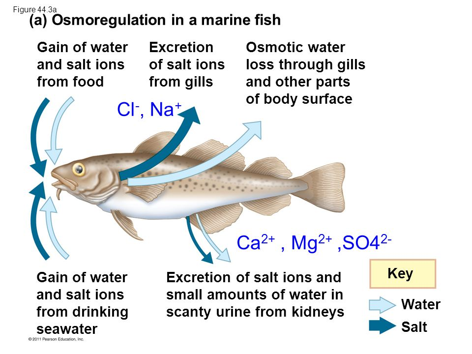 Cl-, Na+ Ca2+ , Mg2+ ,SO42- (a) Osmoregulation in a marine fish