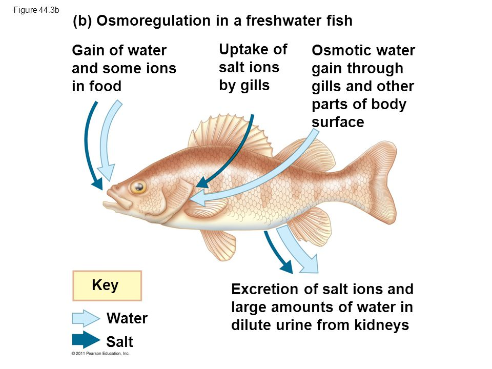 (b) Osmoregulation in a freshwater fish