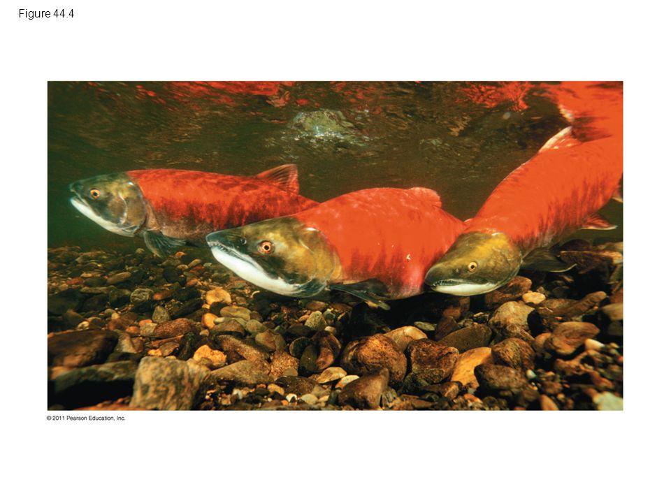 Figure 44.4 Figure 44.4 Sockeye salmon (Oncorhynchus nerka), euryhaline osmoregulators.