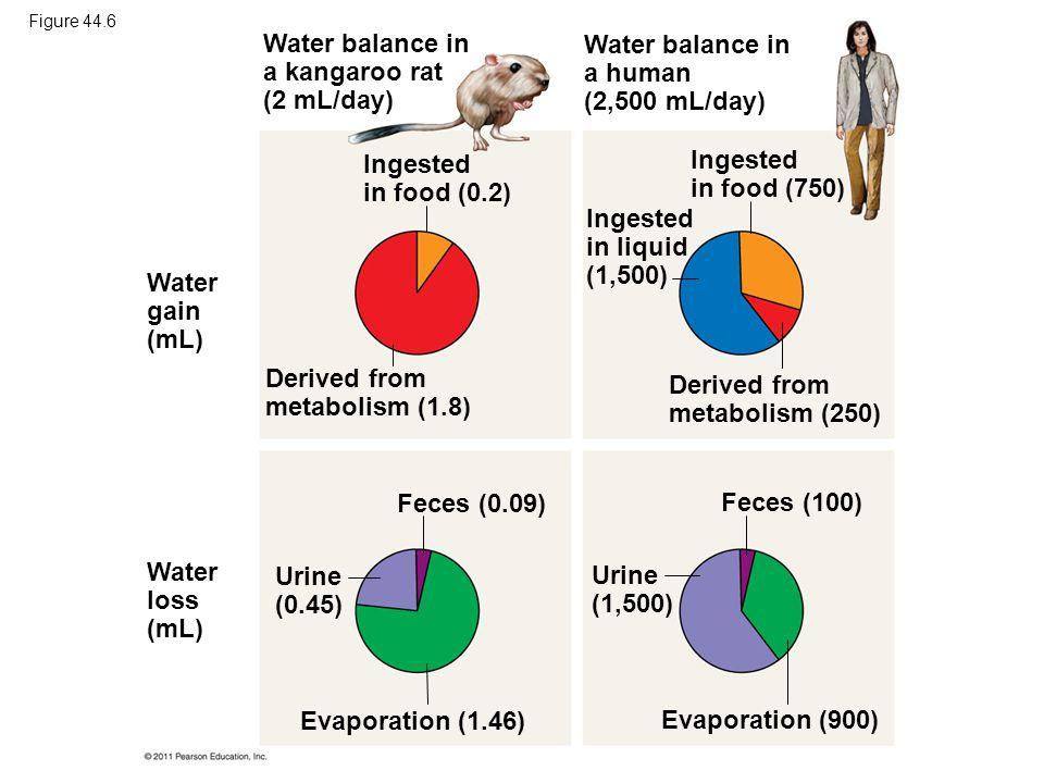Water balance in a kangaroo rat (2 mL/day)
