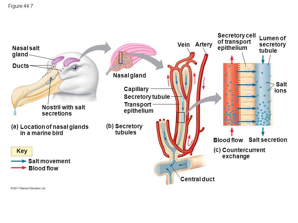 Secretory cell of transport epithelium Lumen of secretory tubule Vein