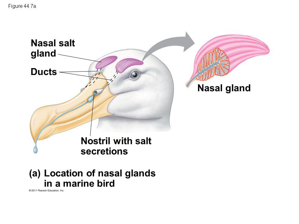 Nostril with salt secretions