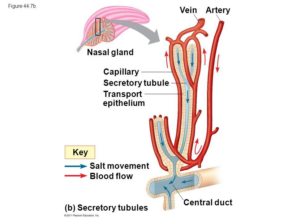 Vein Artery Nasal gland Capillary Secretory tubule