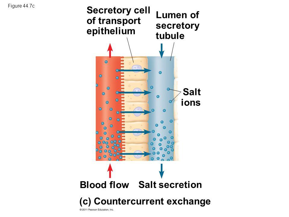 Secretory cell of transport epithelium Lumen of secretory tubule
