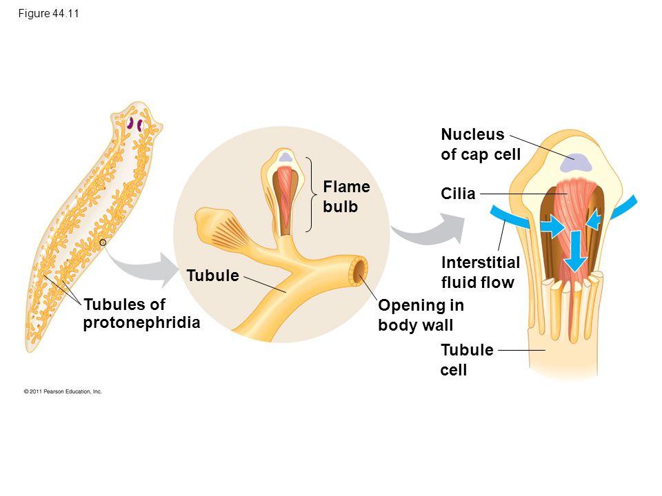 Interstitial fluid flow Tubule