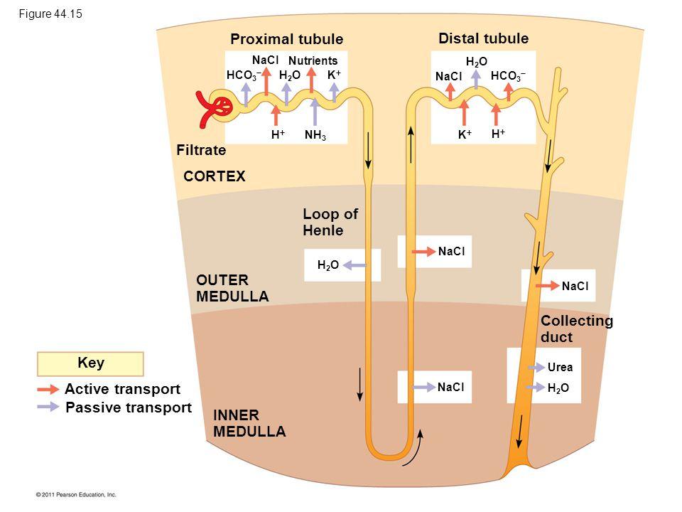 Proximal tubule Distal tubule Filtrate CORTEX Loop of Henle