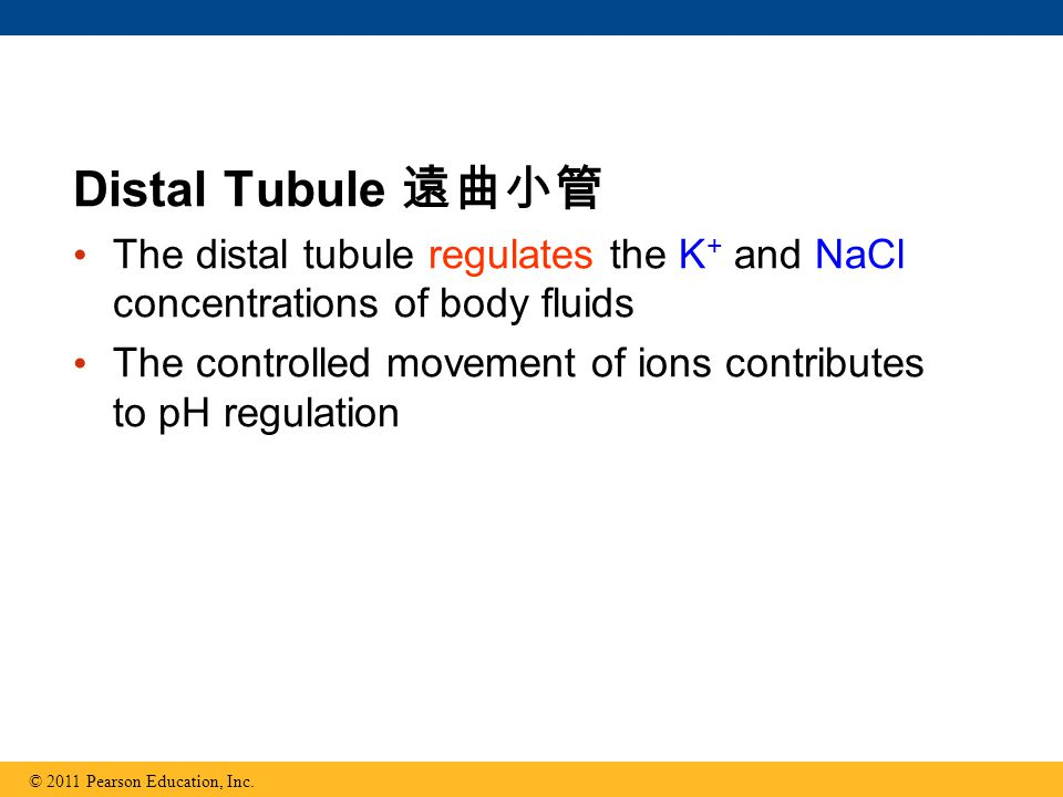 Distal Tubule 遠曲小管 The distal tubule regulates the K+ and NaCl concentrations of body fluids.