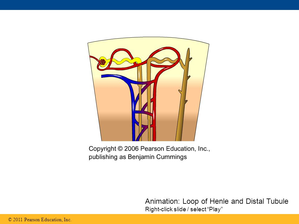 Animation: Loop of Henle and Distal Tubule