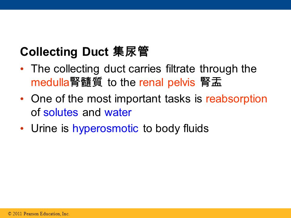 Collecting Duct 集尿管 The collecting duct carries filtrate through the medulla腎髓質 to the renal pelvis 腎盂.