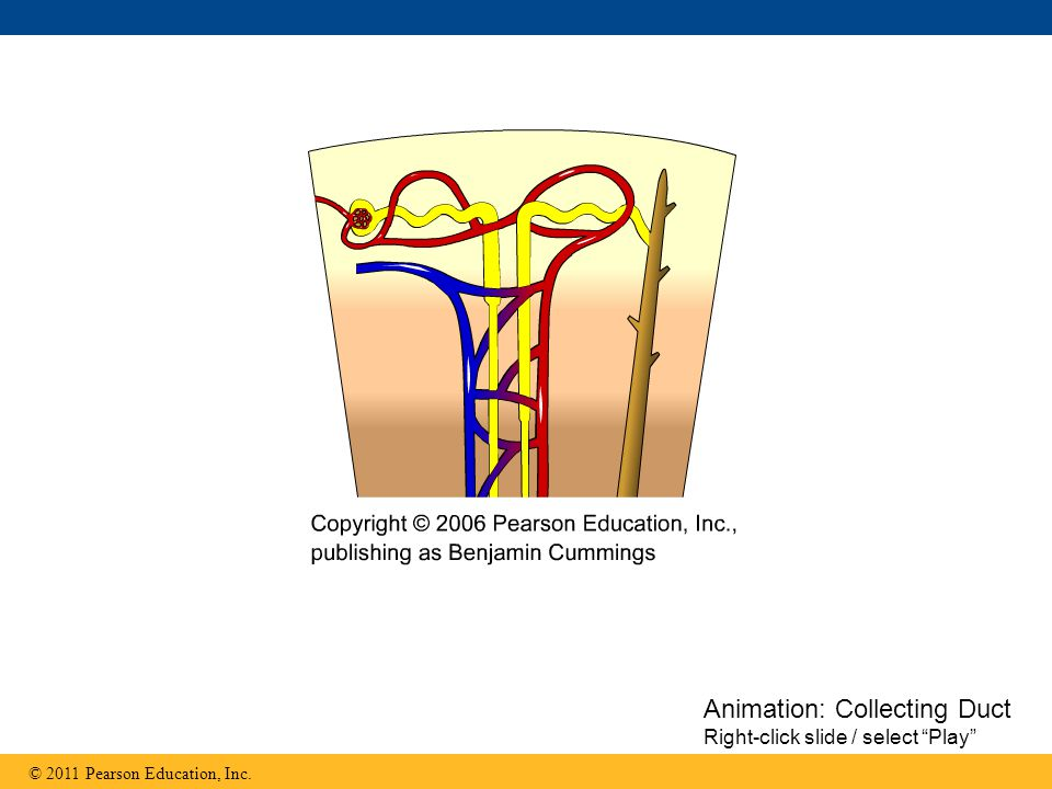 Animation: Collecting Duct
