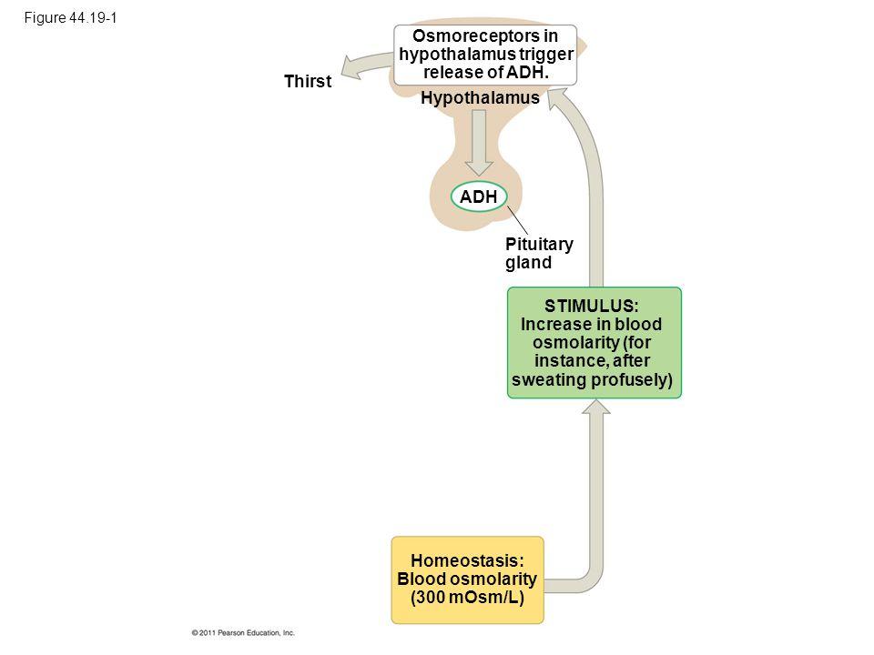 Osmoreceptors in hypothalamus trigger release of ADH.