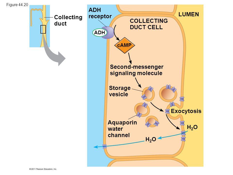 Second-messenger signaling molecule