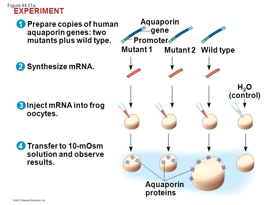 Aquaporin gene H2O (control)