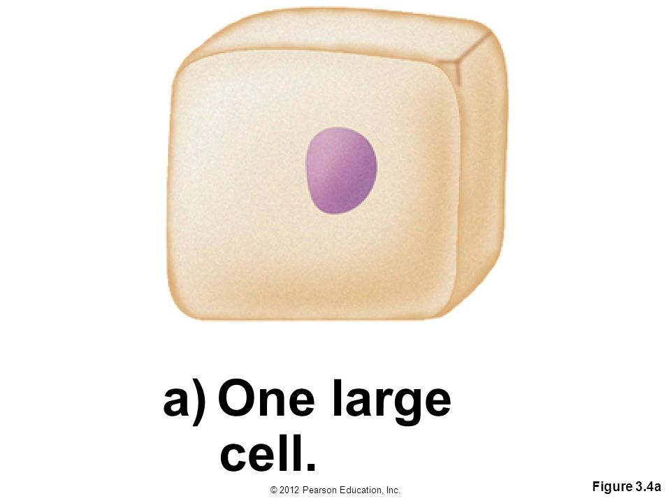 One large cell. Figure 3.4a