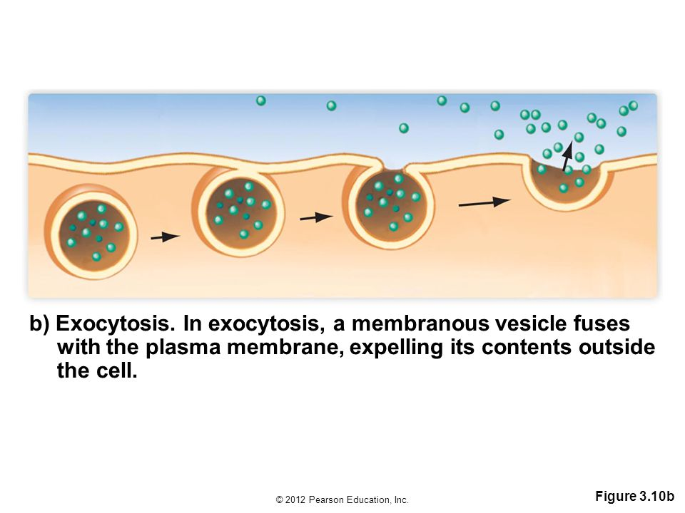 b) Exocytosis. In exocytosis, a membranous vesicle fuses