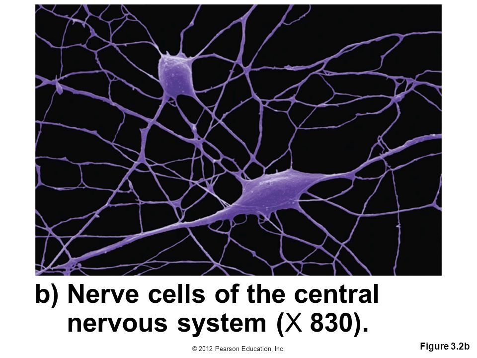 b) Nerve cells of the central nervous system (X 830).