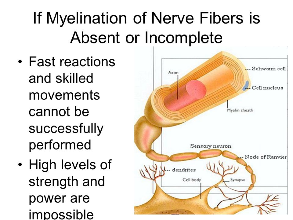 If Myelination of Nerve Fibers is Absent or Incomplete