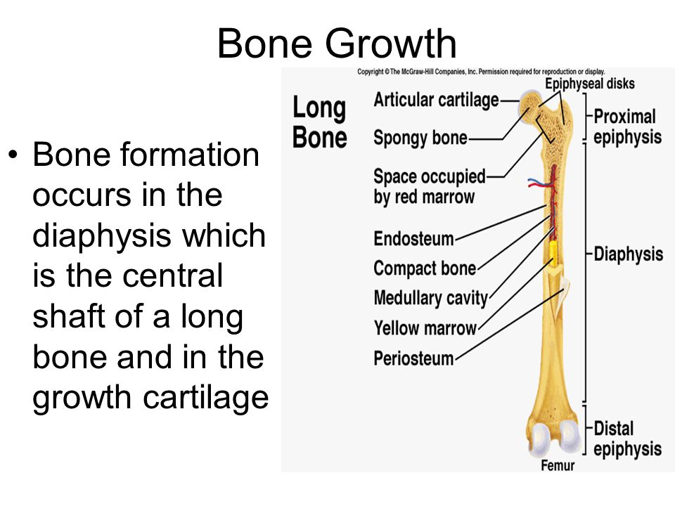 Bone Growth Bone formation occurs in the diaphysis which is the central shaft of a long bone and in the growth cartilage.