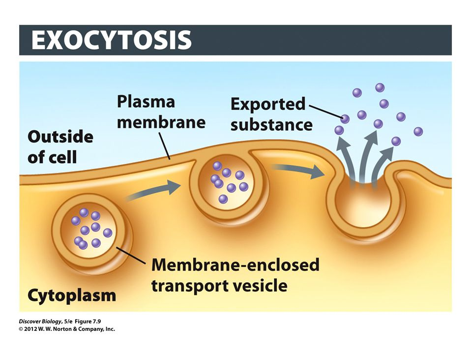 Figure 7.9 Cell Contents Are Exported through Exocytosis