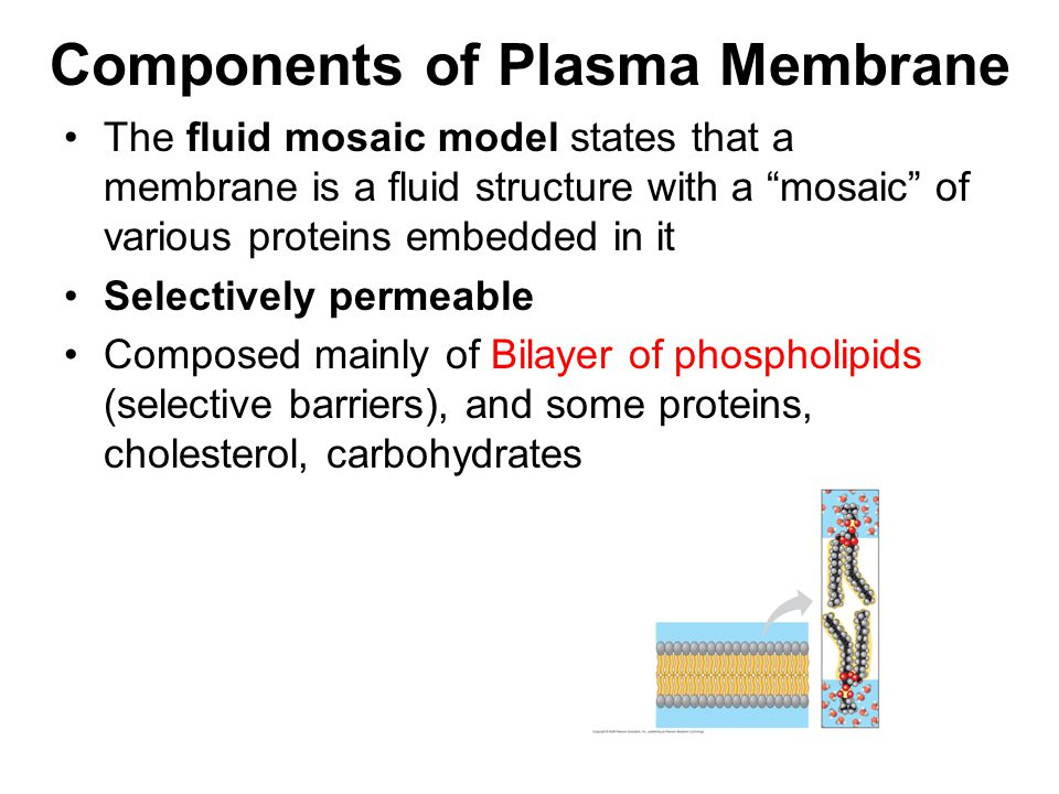 Components of Plasma Membrane