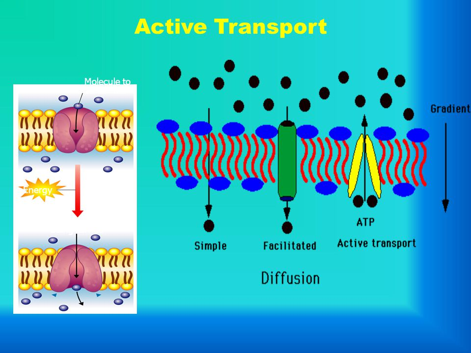 Active Transport Molecule to be carried Molecule being carried Energy