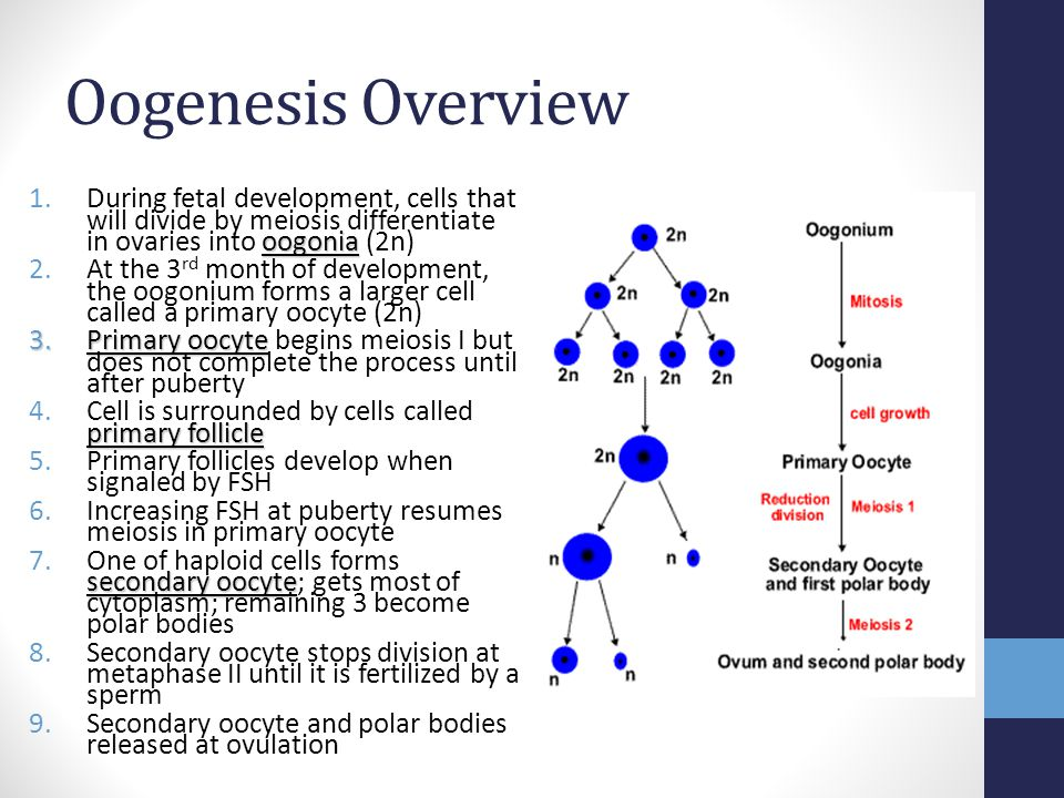 Oogenesis Overview During fetal development, cells that will divide by meiosis differentiate in ovaries into oogonia (2n)