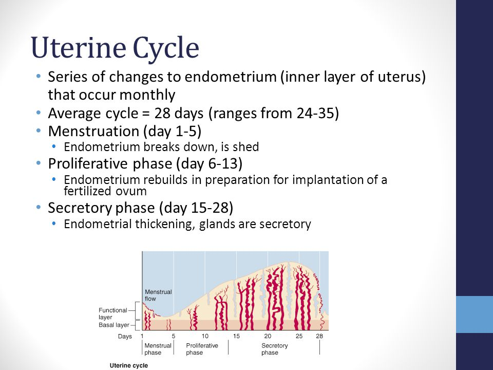 Uterine Cycle Series of changes to endometrium (inner layer of uterus) that occur monthly. Average cycle = 28 days (ranges from 24-35)