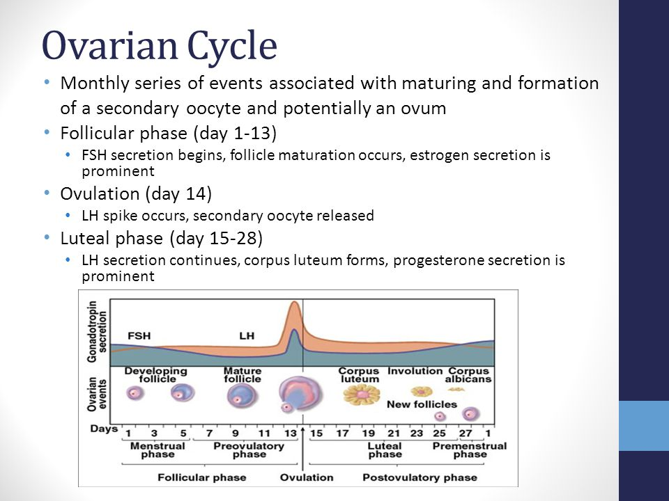 Ovarian Cycle Monthly series of events associated with maturing and formation of a secondary oocyte and potentially an ovum.