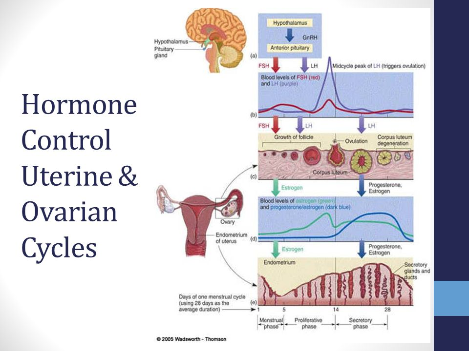 Hormone Control Uterine & Ovarian Cycles
