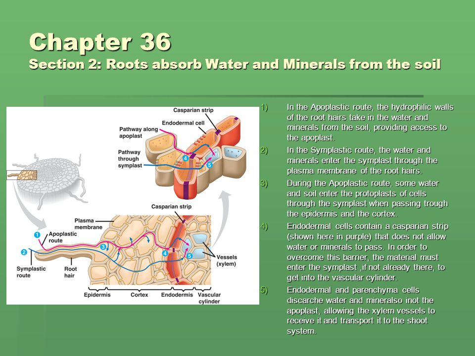 Chapter 36 Section 2: Roots absorb Water and Minerals from the soil