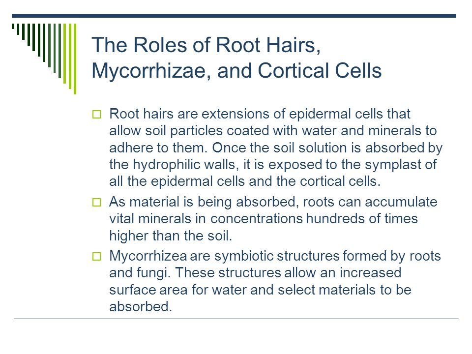 The Roles of Root Hairs, Mycorrhizae, and Cortical Cells