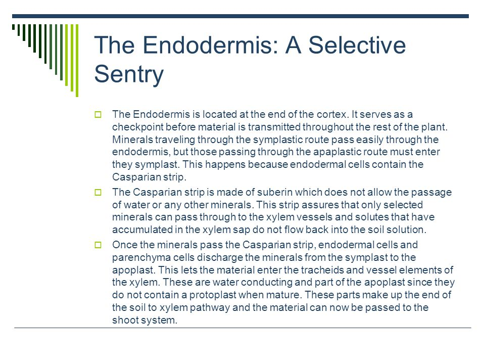 The Endodermis: A Selective Sentry