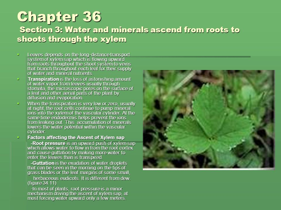 Chapter 36 Section 3: Water and minerals ascend from roots to shoots through the xylem