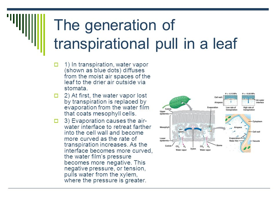 The generation of transpirational pull in a leaf