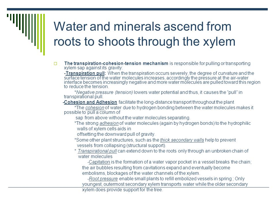 Water and minerals ascend from roots to shoots through the xylem