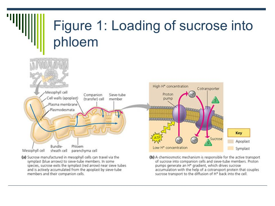 Figure 1: Loading of sucrose into phloem
