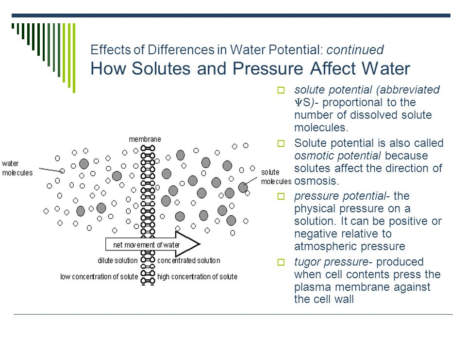 Effects of Differences in Water Potential: continued How Solutes and Pressure Affect Water