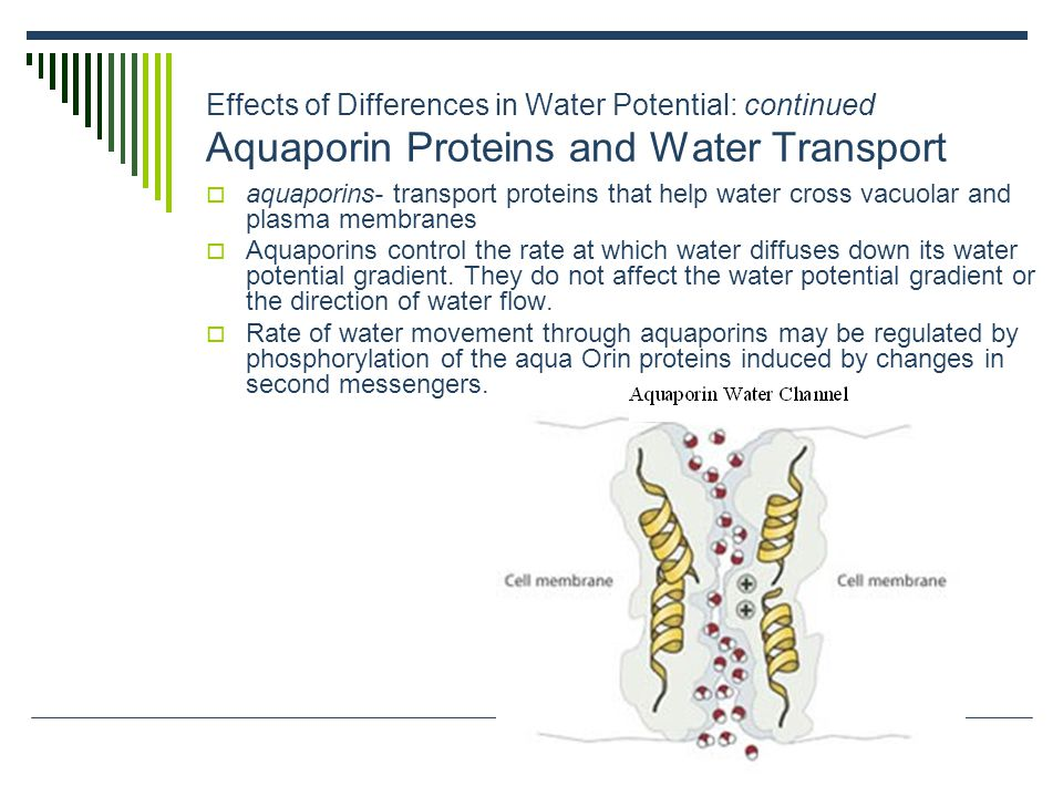 Effects of Differences in Water Potential: continued Aquaporin Proteins and Water Transport
