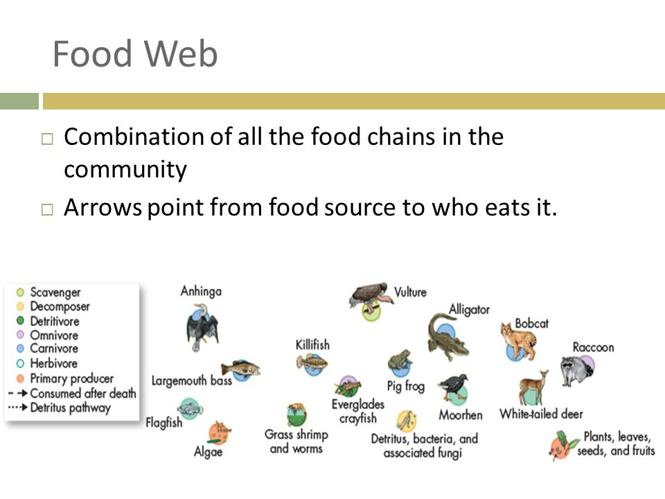 Food Web Combination of all the food chains in the community