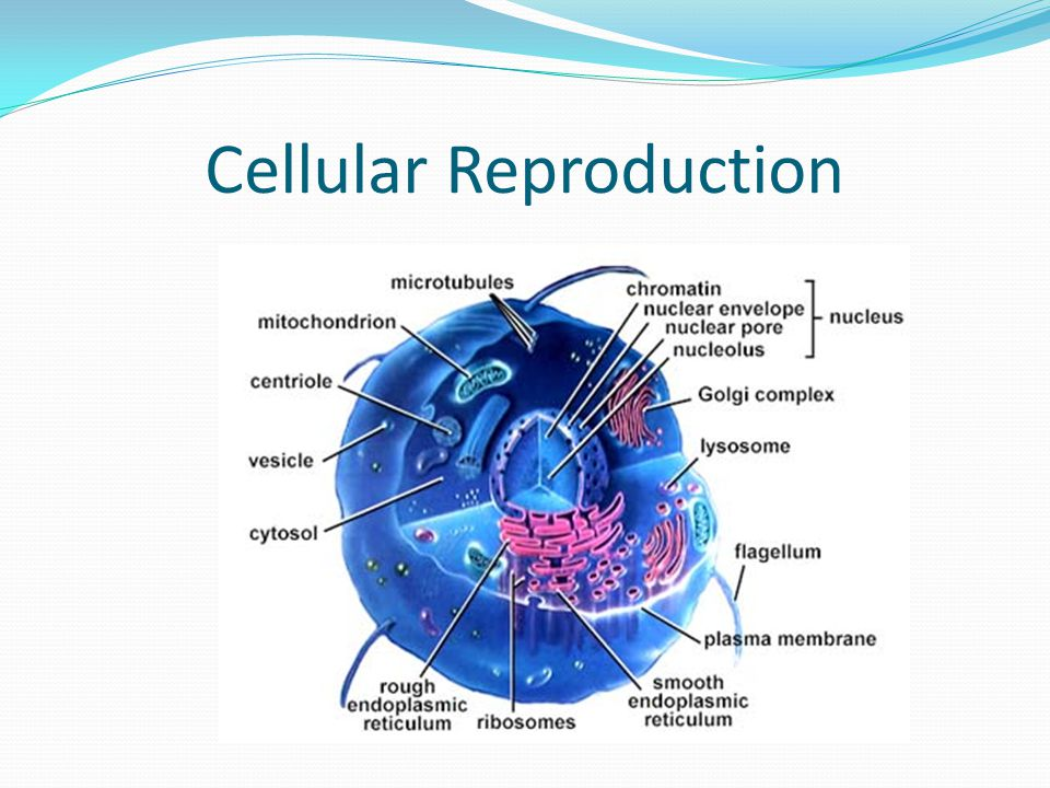 Cellular Reproduction