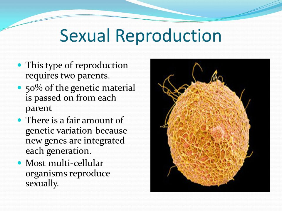 Sexual Reproduction This type of reproduction requires two parents.