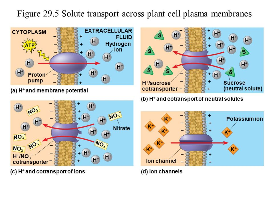 Figure 29.5 Solute transport across plant cell plasma membranes