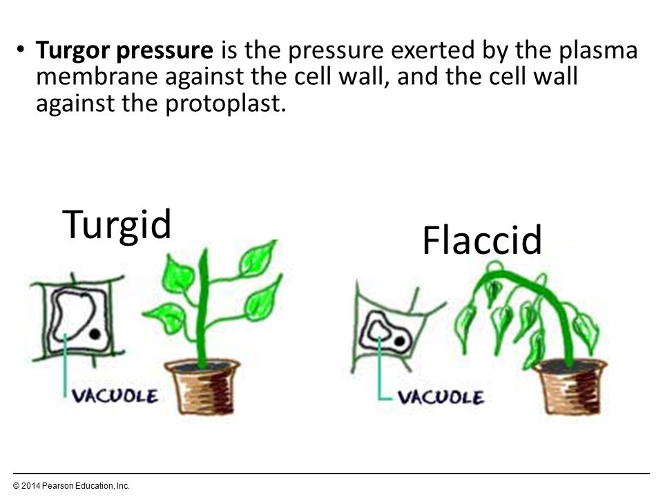 Turgor pressure is the pressure exerted by the plasma membrane against the cell wall, and the cell wall against the protoplast.