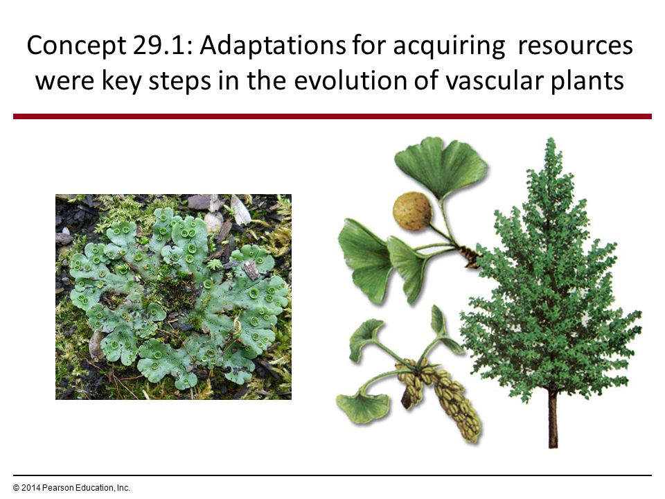 Concept 29.1: Adaptations for acquiring resources were key steps in the evolution of vascular plants