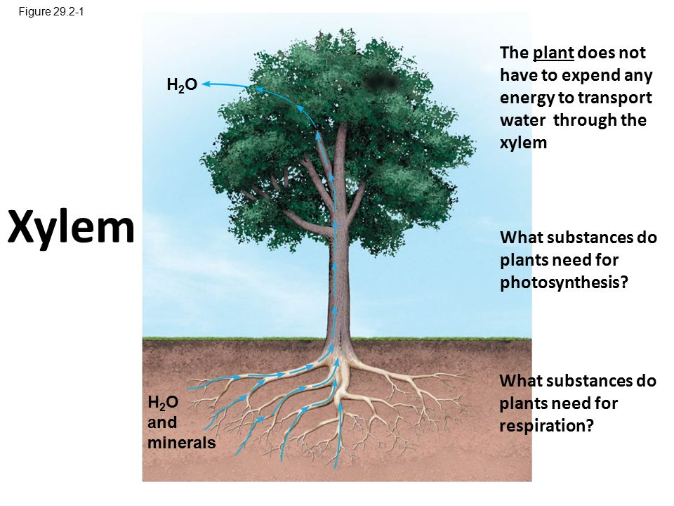 Figure 29.2-1 The plant does not have to expend any energy to transport water through the xylem. H2O.