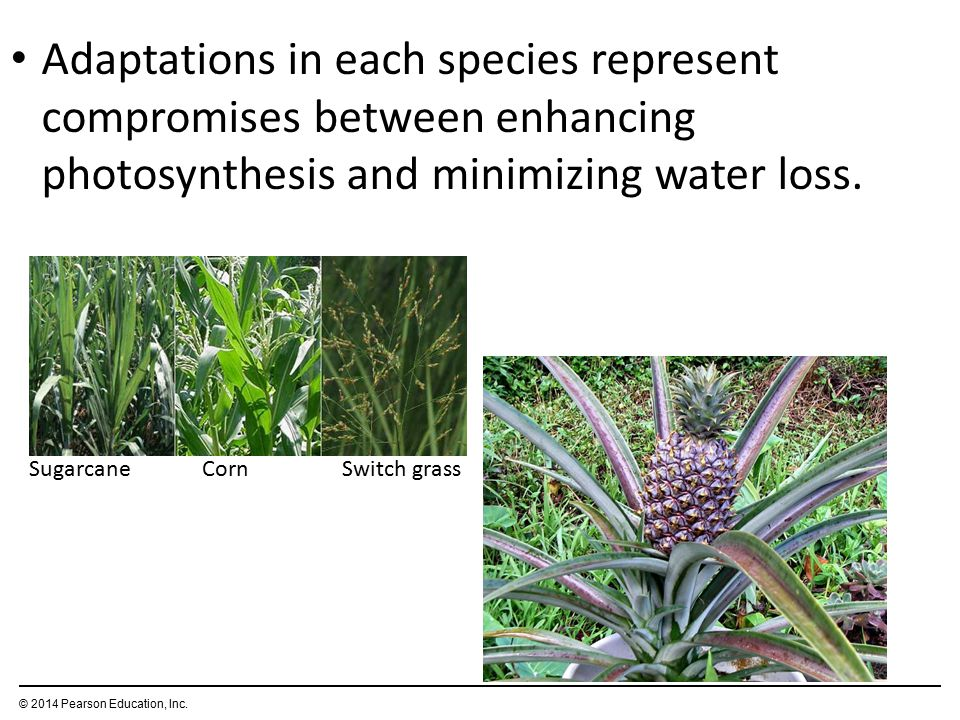 Adaptations in each species represent compromises between enhancing photosynthesis and minimizing water loss.