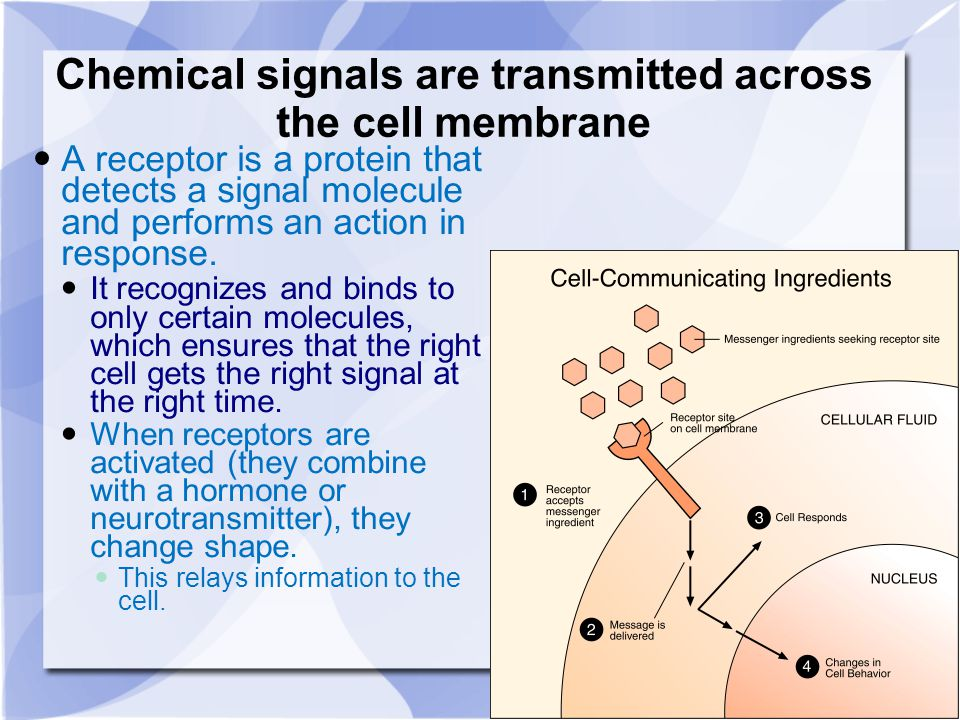 Chemical signals are transmitted across the cell membrane