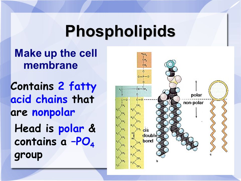 Phospholipids Make up the cell membrane