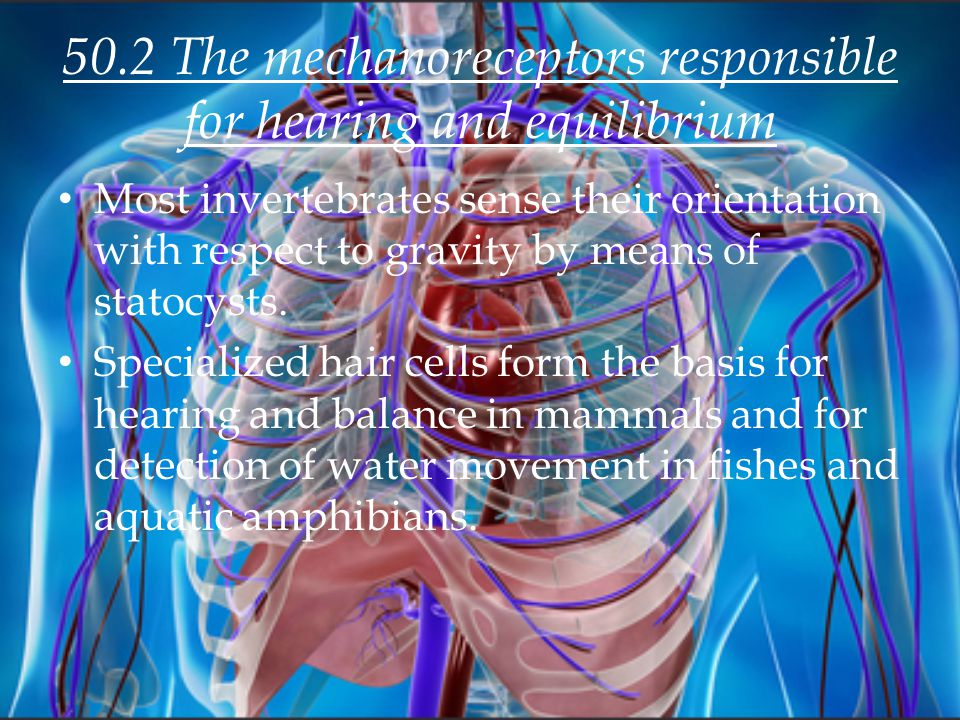 50.2 The mechanoreceptors responsible for hearing and equilibrium